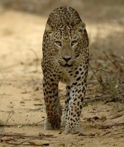 Leopard in Wilpattu
